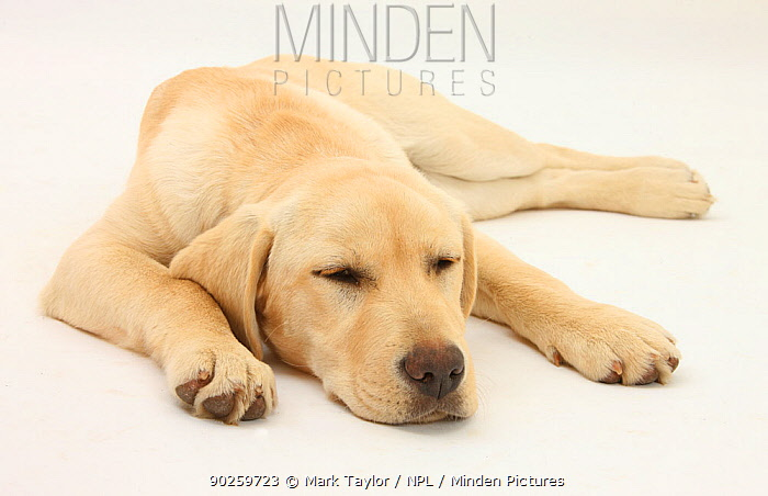 Sleepy Yellow Labrador puppy, 5 months  -  Mark Taylor/ npl