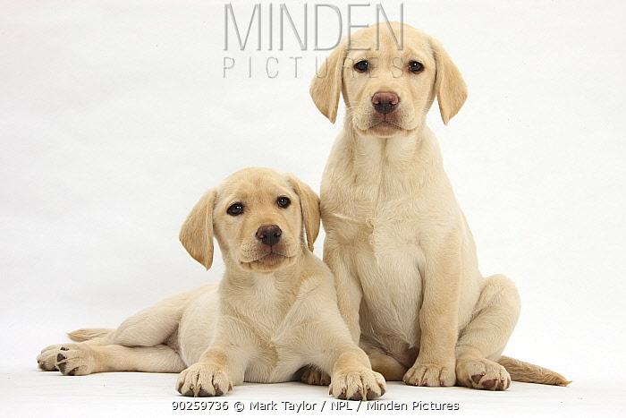 Yellow Labrador Retriever puppies, 10 weeks  -  Mark Taylor/ npl