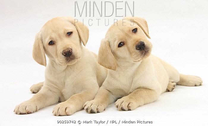 Yellow Labrador Retriever puppies, 9 weeks  -  Mark Taylor/ npl