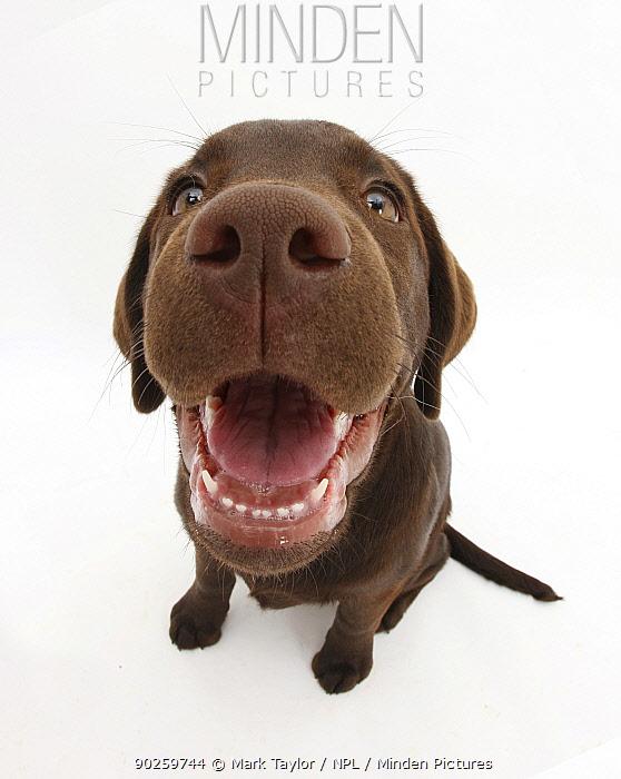 Chocolate Labrador puppy, Inca, looking up, nose close-up  -  Mark Taylor/ npl