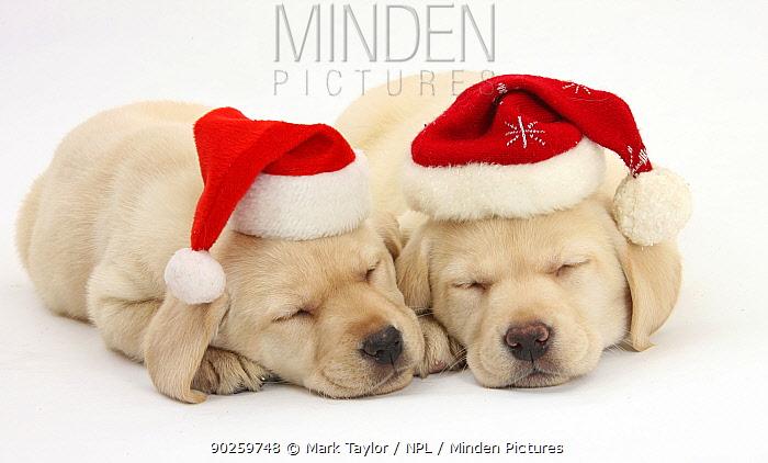 Sleeping Yellow Labrador Retriever puppies, 8 weeks, wearing Father Christmas hats  -  Mark Taylor/ npl