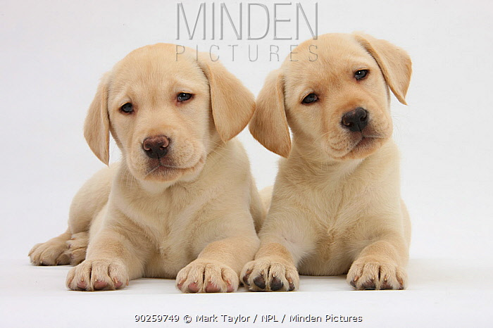Yellow Labrador Retriever puppies, 8 weeks *Restricted Use, exclusive for greetings cards and calendars in Europe until 2015*  -  Mark Taylor/ npl