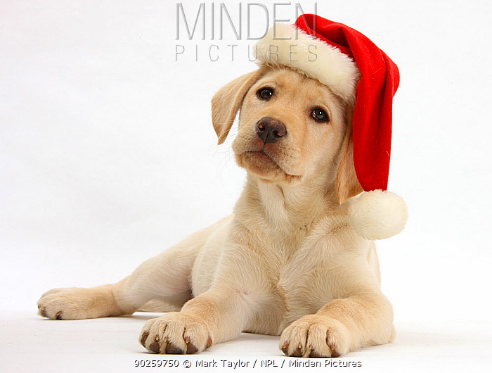 Yellow Labrador Retriever bitch puppy, 10 weeks, wearing a Father Christmas hat  -  Mark Taylor/ npl