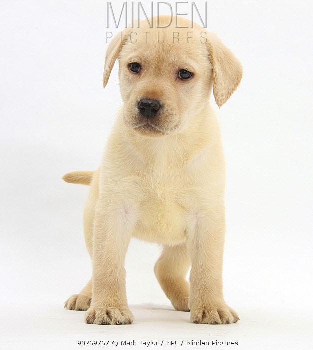 Yellow Labrador Retriever puppy, 7 weeks  -  Mark Taylor/ npl