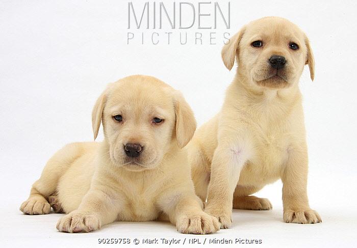 Yellow Labrador Retriever puppies, 7 weeks  -  Mark Taylor/ npl