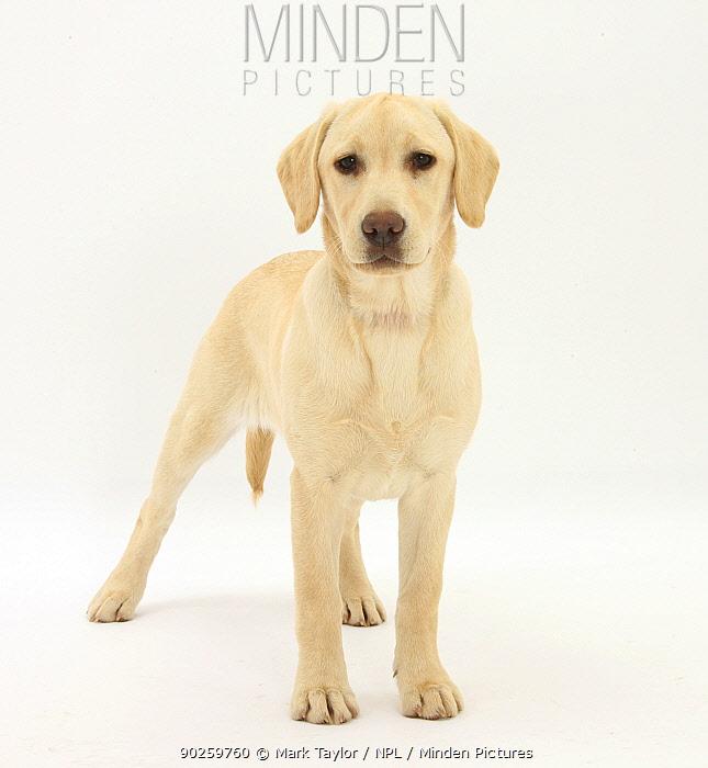 Yellow Labrador puppy, 5 months, standing  -  Mark Taylor/ npl