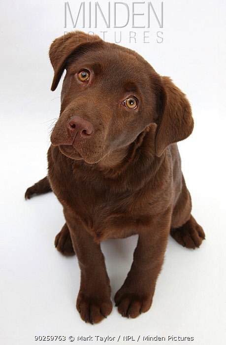 Chocolate Labrador puppy, 3 months, looking up into the camera  -  Mark Taylor/ npl