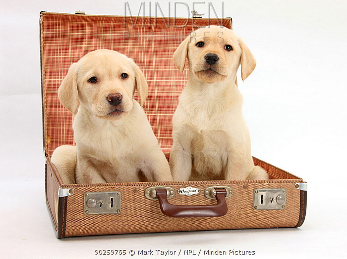 Yellow Labrador Retriever puppies, 8 weeks, sitting in a suitcase  -  Mark Taylor/ npl