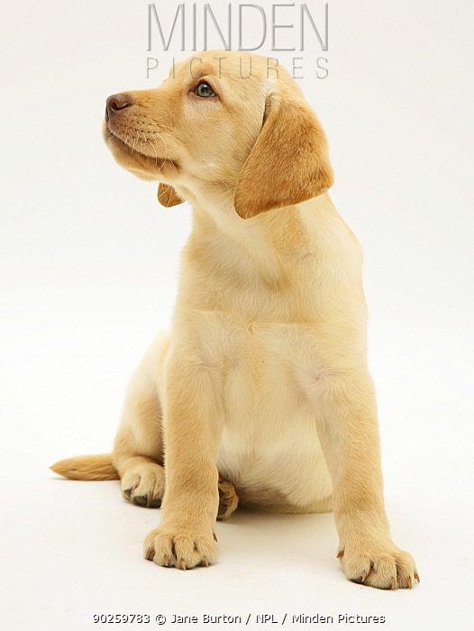 Yellow Labrador Retriever puppy sitting  -  Jane Burton/ npl