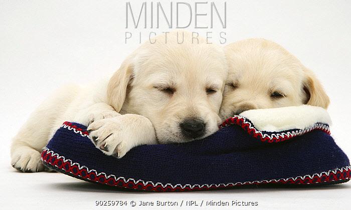 Sleepy Yellow Goldidor puppies on a knitted slipper  -  Jane Burton/ npl