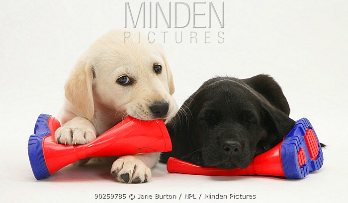 Goldidor Retriever puppies (Golden Retriever x Labrador Retriever) lying on a child's wellington boots  -  Jane Burton/ npl