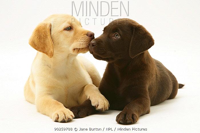 Yellow and Chocolate Labrador Retriever puppies  -  Jane Burton/ npl