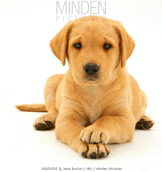 Yellow Labrador Retriever pup, 8 weeks, lying with paws crossed  -  Jane Burton/ npl