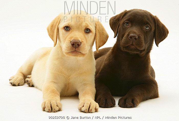 Yellow and Chocolate Retriever puppies  -  Jane Burton/ npl