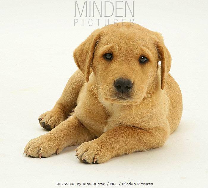 Yellow Labrador puppy lying with head up  -  Jane Burton/ npl