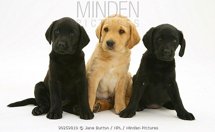 Two Black and one Yellow Labrador Retriever pups, 8 weeks  -  Jane Burton/ npl