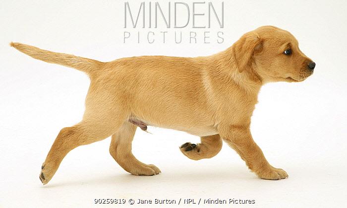 Male yellow Labrador retriever puppy running, 8 weeks  -  Jane Burton/ npl
