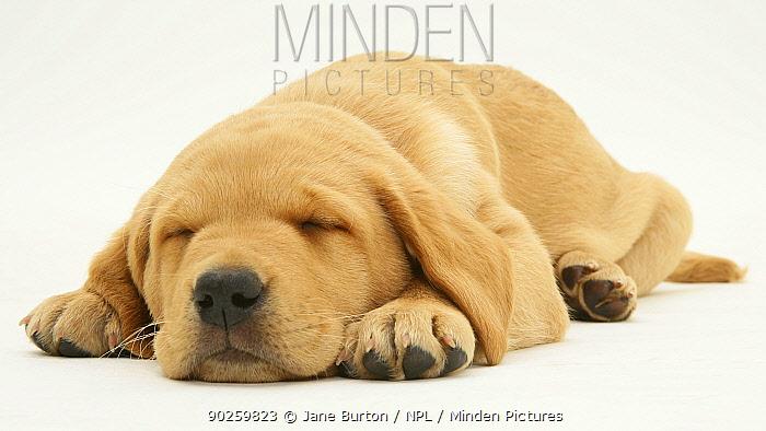 Yellow Labrador puppy sleeping, lying with chin on floor  -  Jane Burton/ npl