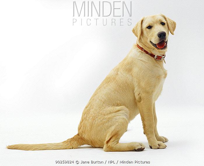 Male Labrador x Golden Retriever puppy, 5 months  -  Jane Burton/ npl
