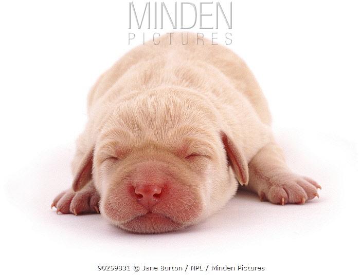 Yellow Labrador retriever, new born puppy sleeping  -  Jane Burton/ npl