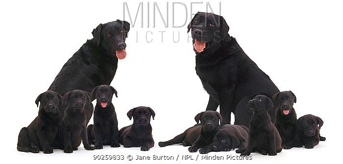 Black Labrador family, two adults with nine puppies Digital composite  -  Jane Burton/ npl