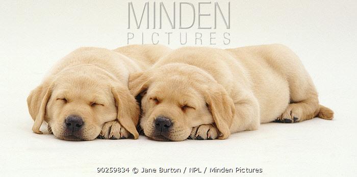 Two Yellow Labrador retriever puppies sleeping, 6 weeks  -  Jane Burton/ npl