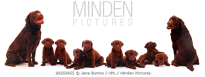 Chocolate Labrador family, two adults with eight puppies Digital composite  -  Jane Burton/ npl