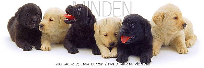 Three Black and three Yellow Labrador puppies in a row  -  Jane Burton/ npl