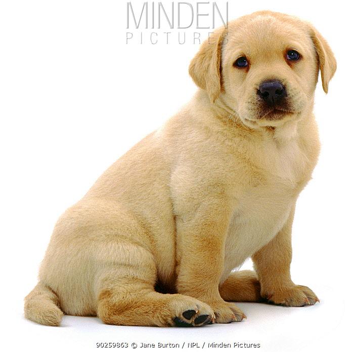 Yellow Labrador Retriever puppy sitting, 6 weeks  -  Jane Burton/ npl