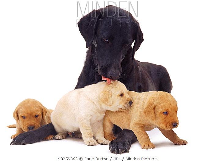 Black Labrador licking one of her three yellow puppies, 3 weeks  -  Jane Burton/ npl