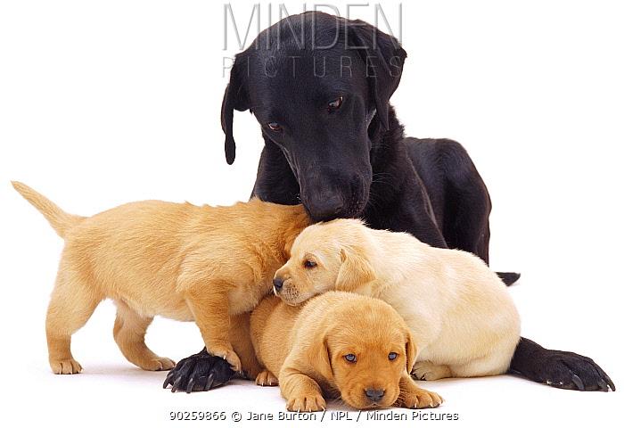 Black Labrador and three puppies, 3 weeks  -  Jane Burton/ npl