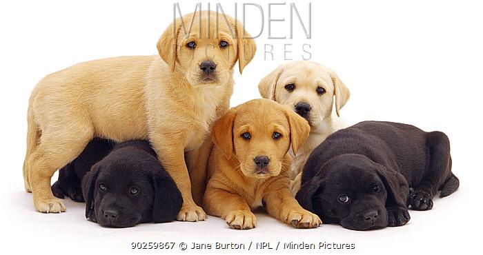 Three yellow and two black Labrador puppies, 6 weeks  -  Jane Burton/ npl
