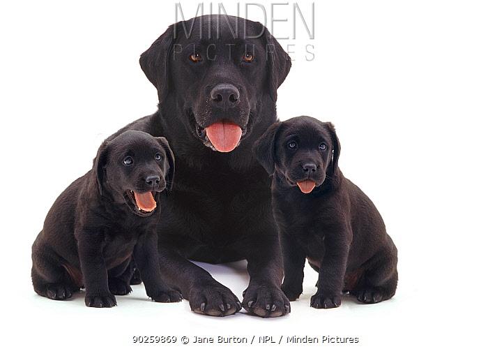 Black Labrador with two puppies  -  Jane Burton/ npl