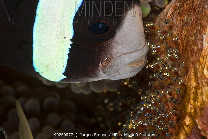 Clarke Anemonefish (Amphiprion clarkii) fanning her eggs, Bali, Indonesia, Indo-pacific  -  Jurgen Freund/ npl