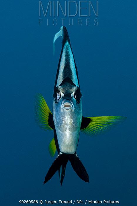Longfin Bannerfish (Heniochus acuminatus) head on portrait, Bali, Indonesia, Indo-pacific  -  Jurgen Freund/ npl