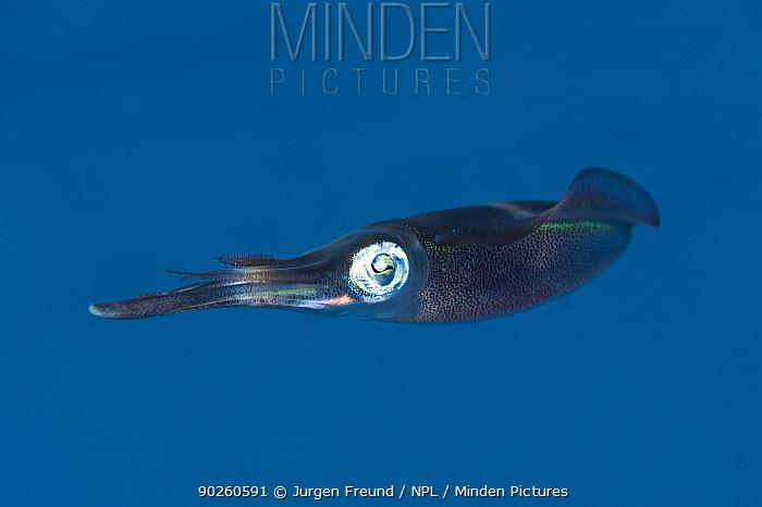 Bigfin reef squid (Sepioteuthis lessoniana) swimming, Kimbe Bay, West New Britain, Papua New Guinea  -  Jurgen Freund/ npl