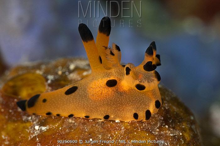 Nudibranch (Thecacera sp) on reef, West Papua, Indonesia  -  Jurgen Freund/ npl