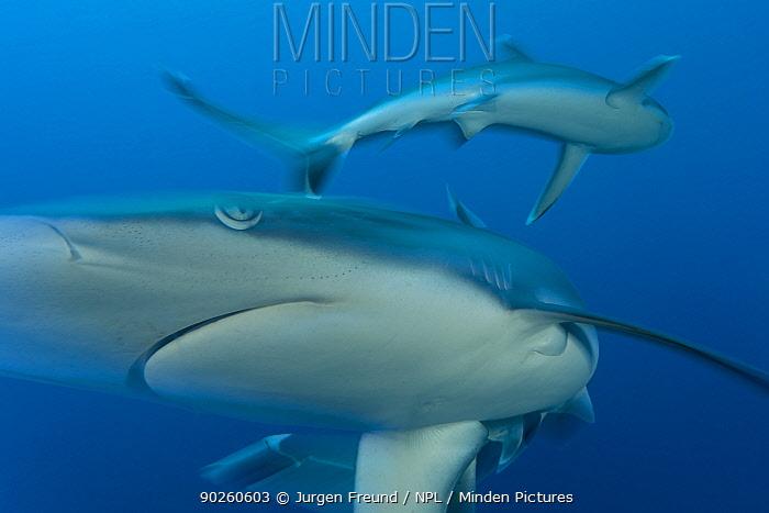 Silvertip reef shark (Carcharhinus albimarginatus) Kimbe Bay, West New Britain, Papua New Guinea  -  Jurgen Freund/ npl