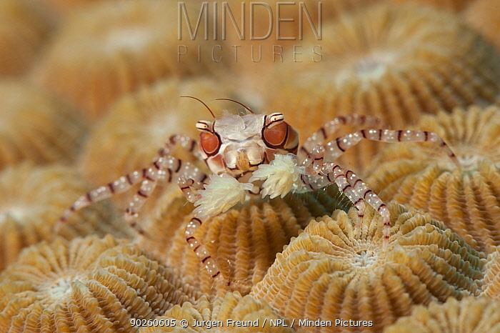 Boxer, Pom pom crab (Lybia tesselata) on coral, Kimbe Bay, West New Britain, Papua New Guinea  -  Jurgen Freund/ npl