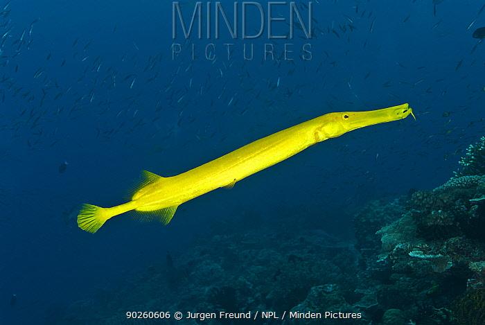 Golden trumpetfish (Aulostomus chinensis) Indo-pacific  -  Jurgen Freund/ npl
