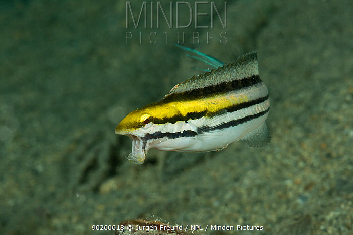 Shorthead, Striped poison fangblenny (Petroscirtes breviceps) with open mouth showing the lower fangs New Ireland, Papua New Guinea  -  Jurgen Freund/ npl