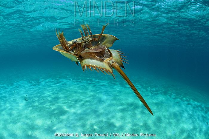 Horsehoe crab (Tachypleus gigas) swimming on its back with gills creating the propulsion, Palawan, Philippines  -  Jurgen Freund/ npl