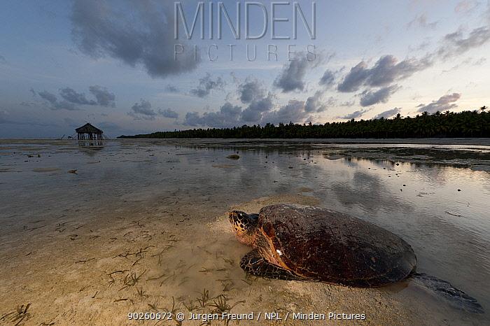 Hawskbill turtle (Eretmochelys imbricata) female makes her way back to sea at sunrise after laying her eggs on the beach Moromaho Island, Sulawesi, Indonesia, November 2009  -  Jurgen Freund/ npl