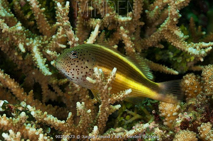 Forster's hawkfish (Paracirrhites forsteri) amongst coral, West Papua, Indonesia  -  Jurgen Freund/ npl