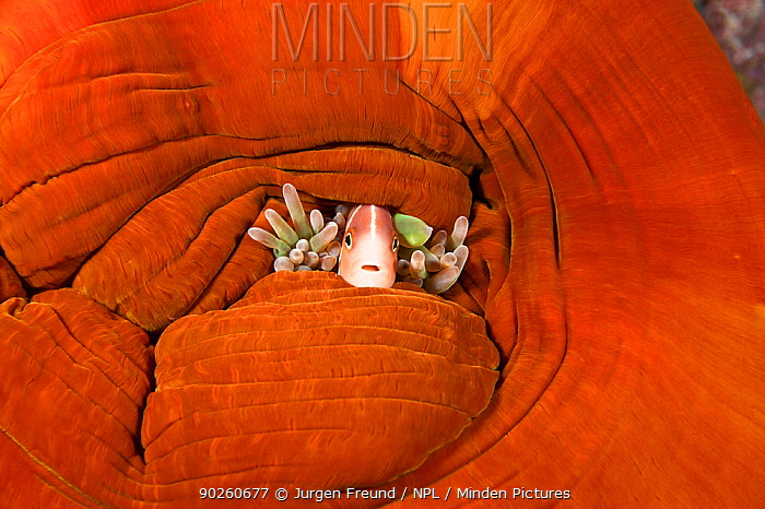 Pink anemonefish (Amphiprion perideraion) hiding amongst the tentacles of its closed anemone host, Kimbe Bay, West New Britain, Papua New Guinea  -  Jurgen Freund/ npl