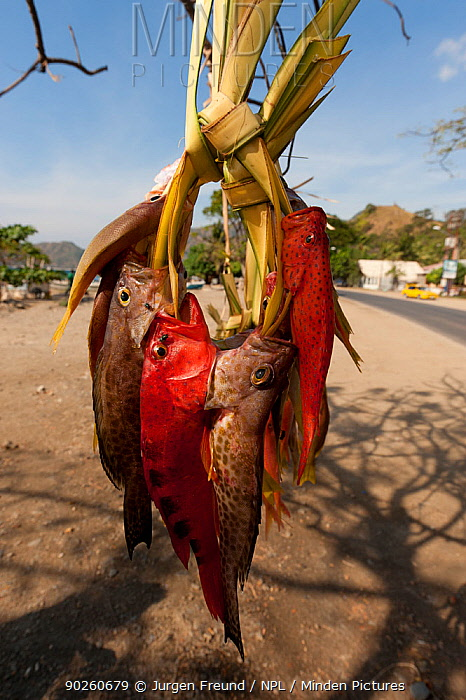 Fresh fish sold by the streets of Dili to passing vehicles and pedestrians, East Timor, August 2010  -  Jurgen Freund/ npl