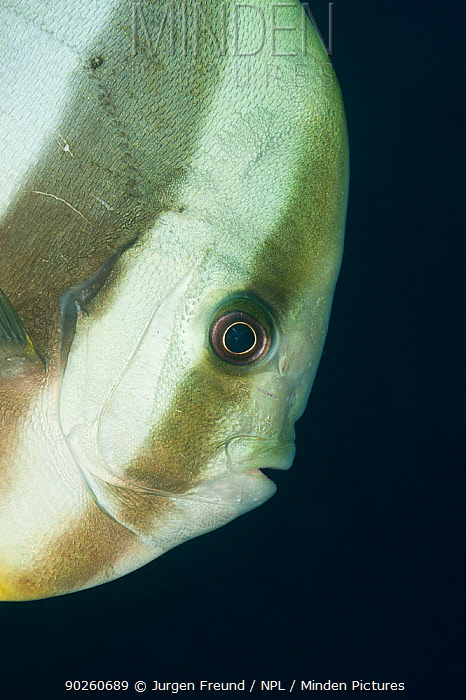 Batfish, Spadefish (Platax sp) portrait, West Papua, Indonesia  -  Jurgen Freund/ npl