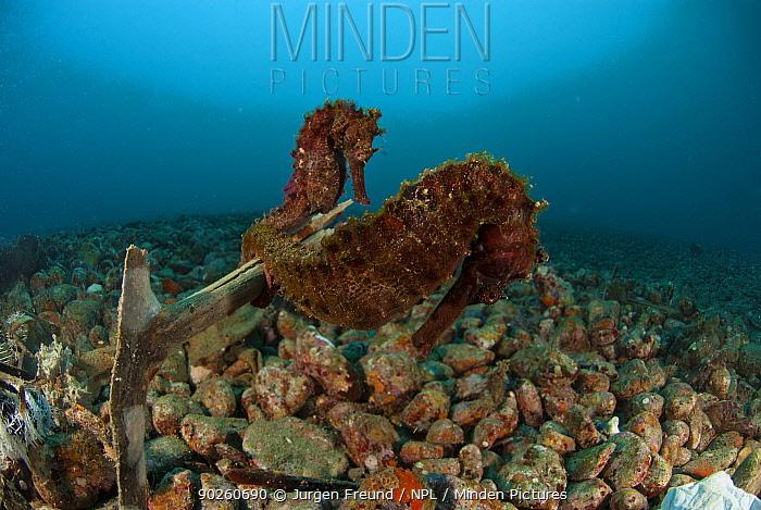 Seahorse (Hippicampus kuda) pair on sea rubble, West Papua, Indonesia  -  Jurgen Freund/ npl