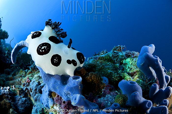 Nudibranch (Jorunna funebris) feeding on its preferred sponge, Kimbe Bay, West New Britain, Papua New Guinea  -  Jurgen Freund/ npl