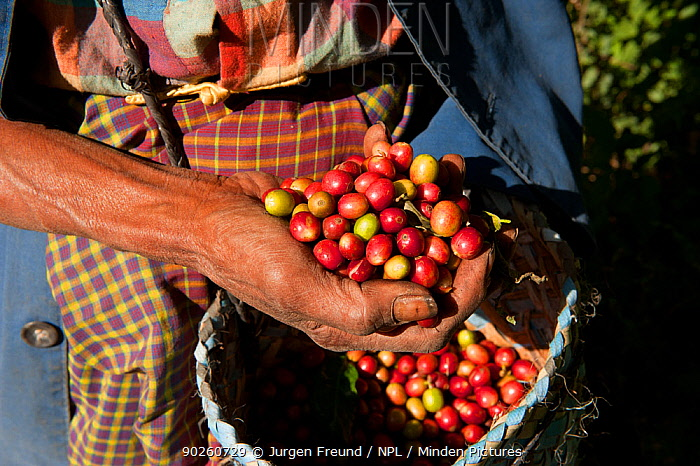 Coffee beans (Coffea arabica) being harvested on the highlands of Maubisse, East Timor, August 2010  -  Jurgen Freund/ npl